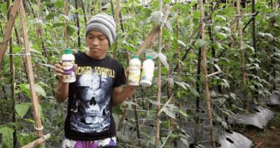 Perawatan Tanaman Kacang Panjang Organik