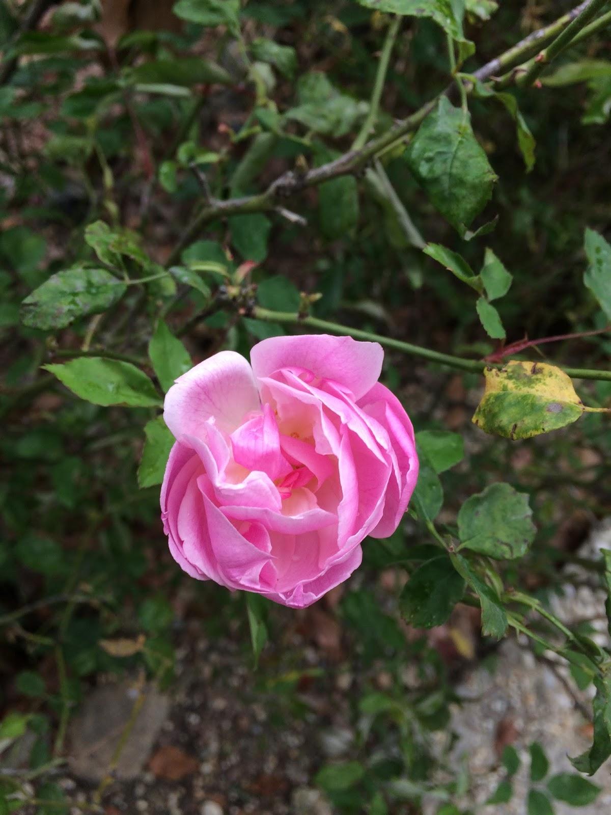 Rose Fai Da Te il corvo alchimista: acqua di rose fai da te: ricetta facile