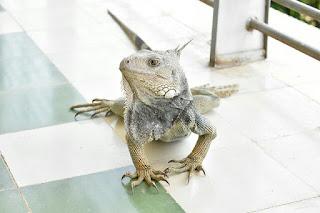 Tips Sebelum Membeli Iguana Bagi Pemula