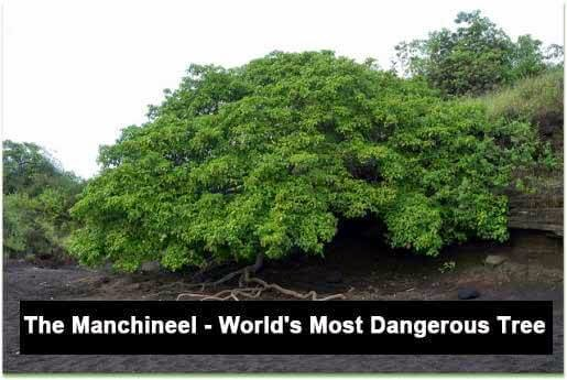 The Manchineel - World's Most Dangerous Tree