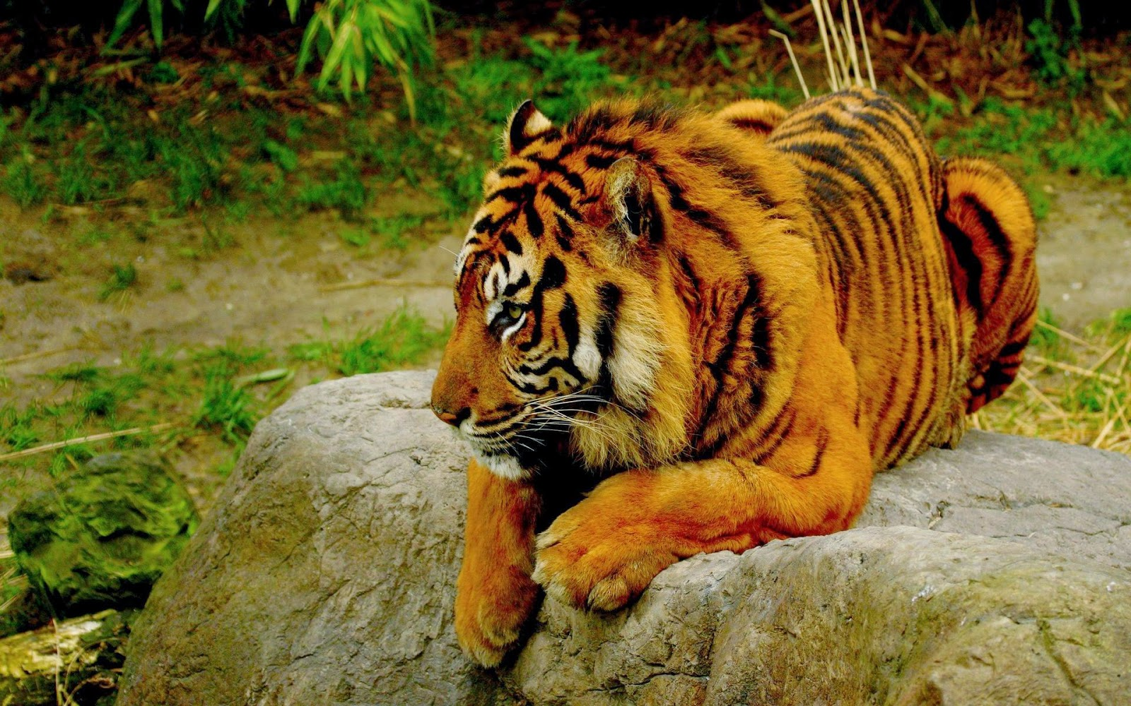 Desktop HD Wallpapers Free Downloads: Bengal Tiger HD