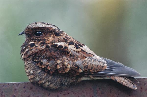 Foto burung Cabak gunung di Sumatera selatan oleh Dan Guthrie Informasi Tentang Burung Cabak Gunung