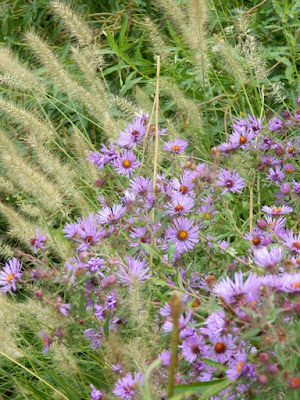 Autumn New England Asters and Fountain Grass at Toronto Botanical Garden's Perennial Borders by garden muses--not another Toronto gardening blog