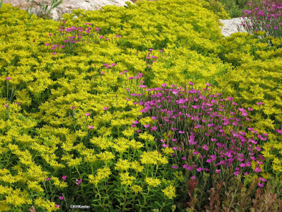 sedums and pinks, Yampa River Botanic Park