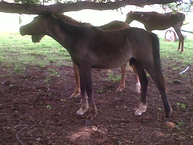 Sport Horse Broker: Iamar Askari for Sale