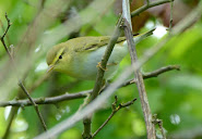 Wood Warbler, Church Norton, 22.4.2017
