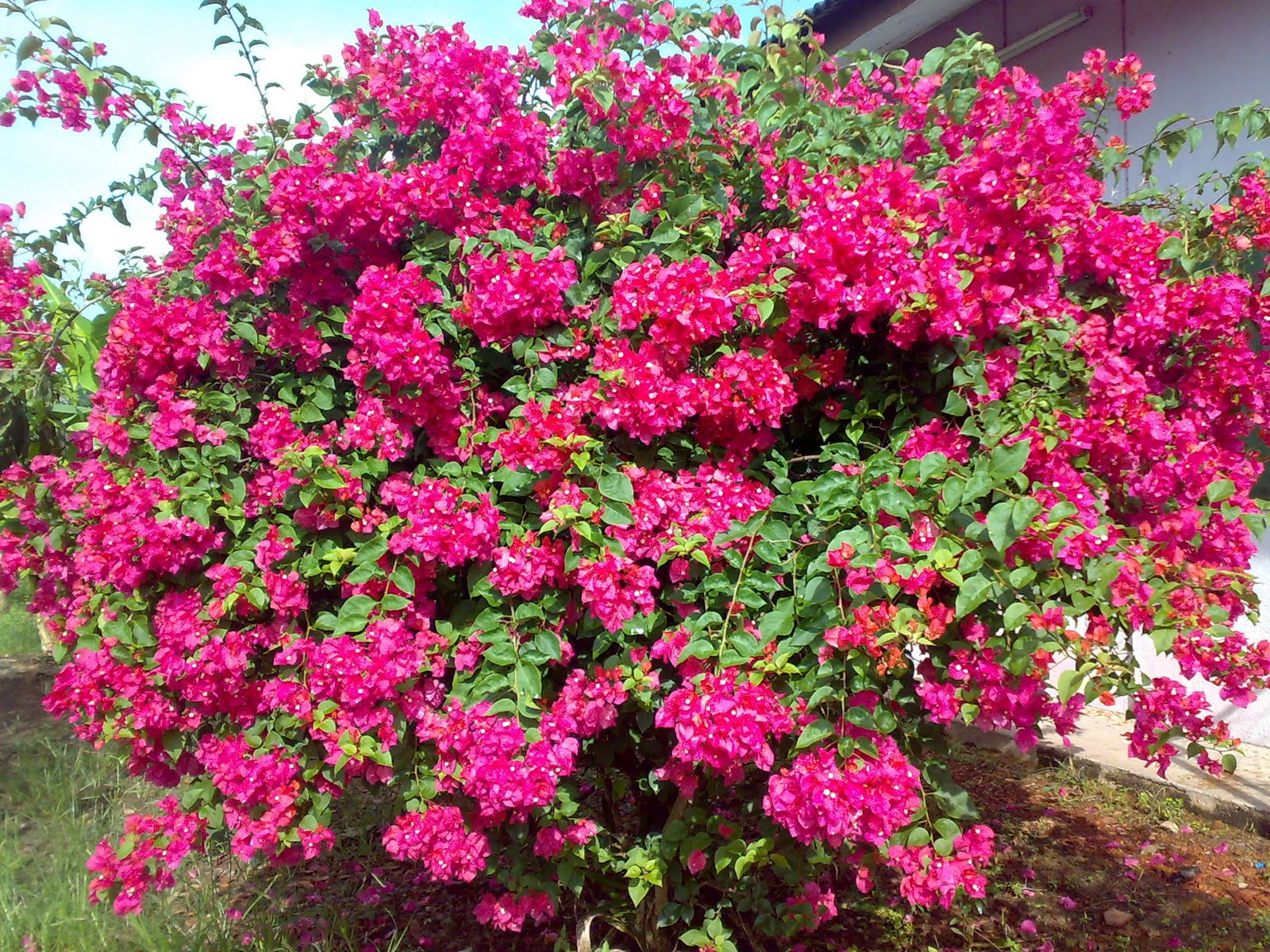 Like English & etc.: Beautiful Flower 9: Bougainvillea ...