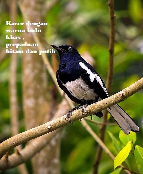 Daftar Nama-Nama Macam Jenis Burung Kicau Disertai Foto