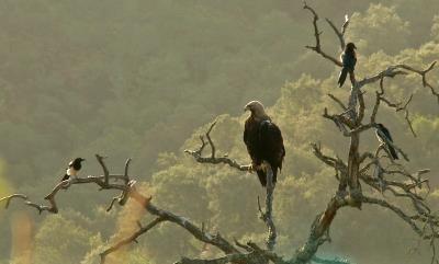 Devuelven a la naturaleza dos águilas imperiales recuperadas de una alberca