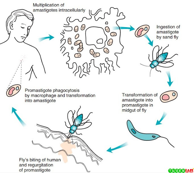 Life cycle of Leishmania spp.
