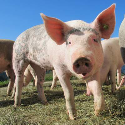 Pig Farming in Nigeria - 6 Major Gains