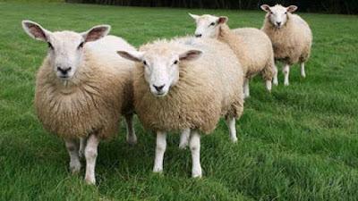 4 Ekor Domba Diatas Padang Rumput - Sekitar Dunia Unik
