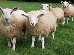 Domba Aneh ini Menghebohkan Dunia