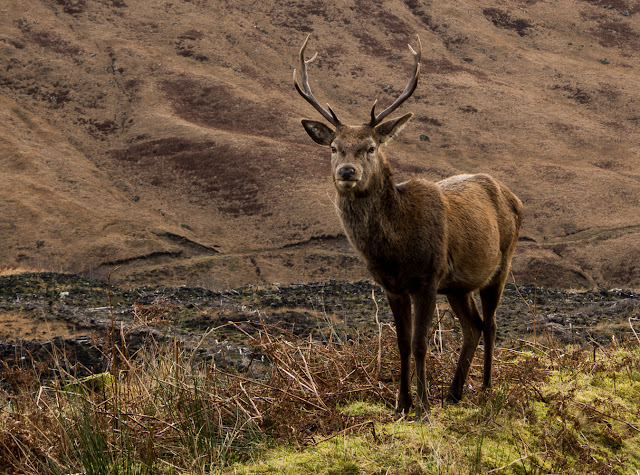 Photo of a stag in Glen Etive