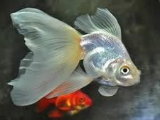 Inilah Jenis Ikan Koki Beserta Gambar Ikan Koki Veilteil