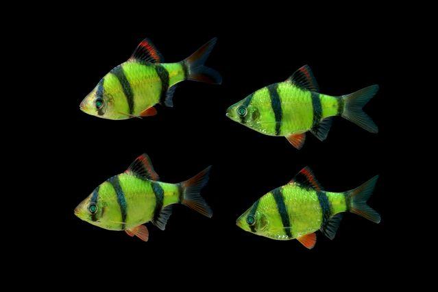 Gambar, Foto Ikan Sumatra Jenis Ikan Hias Tawar Yang Berwarna Hijau
