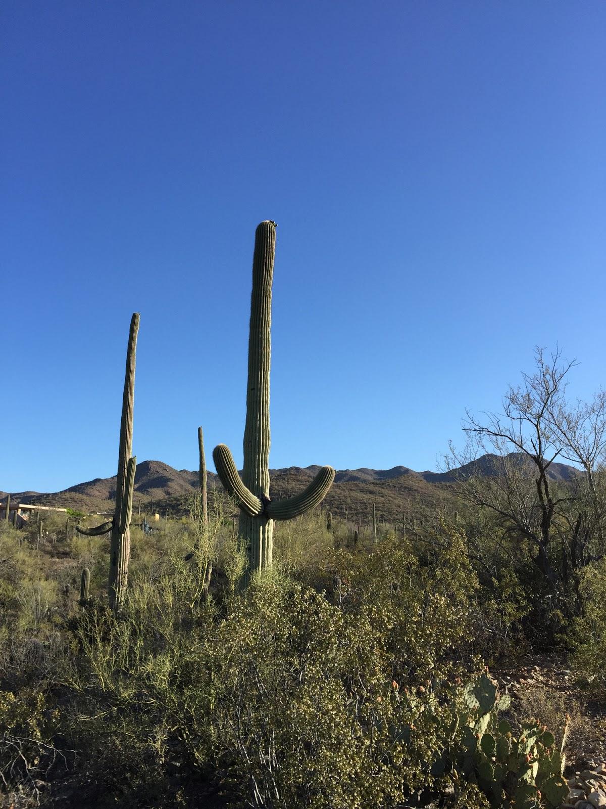 ZOOTHERA BIRDING BLOG Arizona Day 2 Sonoran Desert to