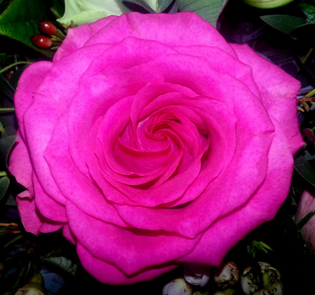 Close-Up of a dark pink rose