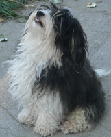 white and black long hair Havanese Dog looks up