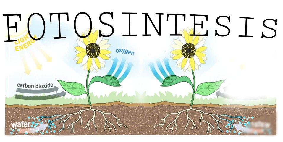 fotosintesis: BAGAIMANA FOTOSINTESIS BERLAKU?