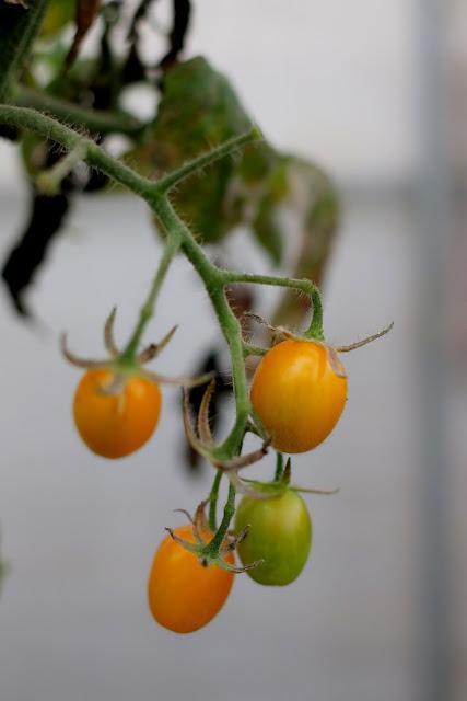 新竹採蕃茄草莓 高平農場