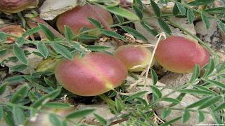 Ground plum fruit images wallpaper