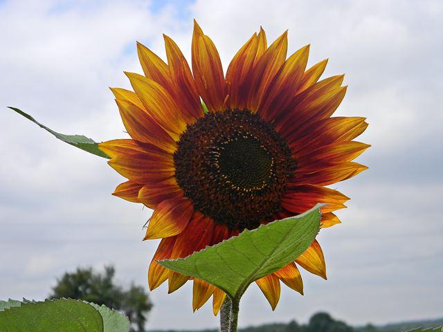 kwiat, roślina, śmieszne, płatki, koło domu