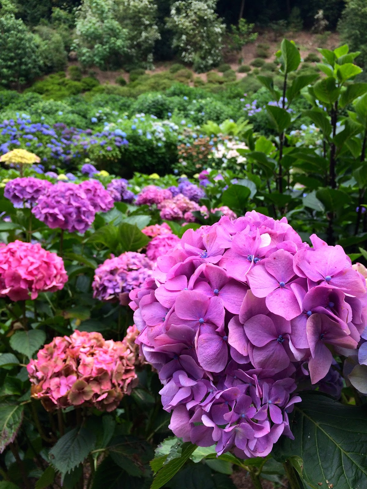 Trebah Gardens, Things to do in Cornwall, UK travel bloggers, hydrangea