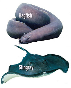 Hagfish and Stingray fish osmoregulation