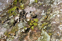 Réhydratation de Lasallia pustulata dans divers sites des  Trois Pignons