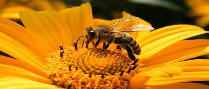 Manfaat Terapi Sengat Lebah untuk kesehatan