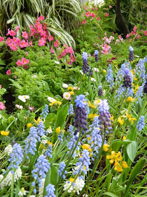 Schizanthus and Pale blue grape hyacinths at the Allan Gardens Conservatory 2018 Spring Flower Show by garden muses-not another Toronto gardening blog