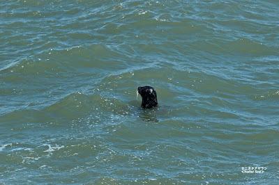ゼニガタアザラシ ≪Harbor seals≫