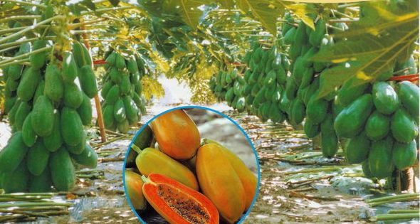 commercial pawpaw farming in Kenya