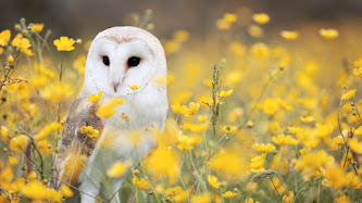 Barn Owl from Field with Yellow Flowers