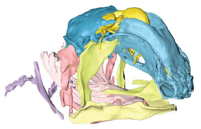 Fish that outlived dinosaurs reveals secrets of ancient skull evolution