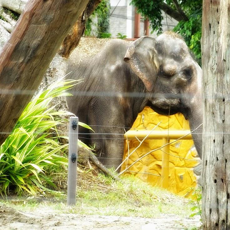 Elefante passeando em seu viveiro, no Beto Carrero World