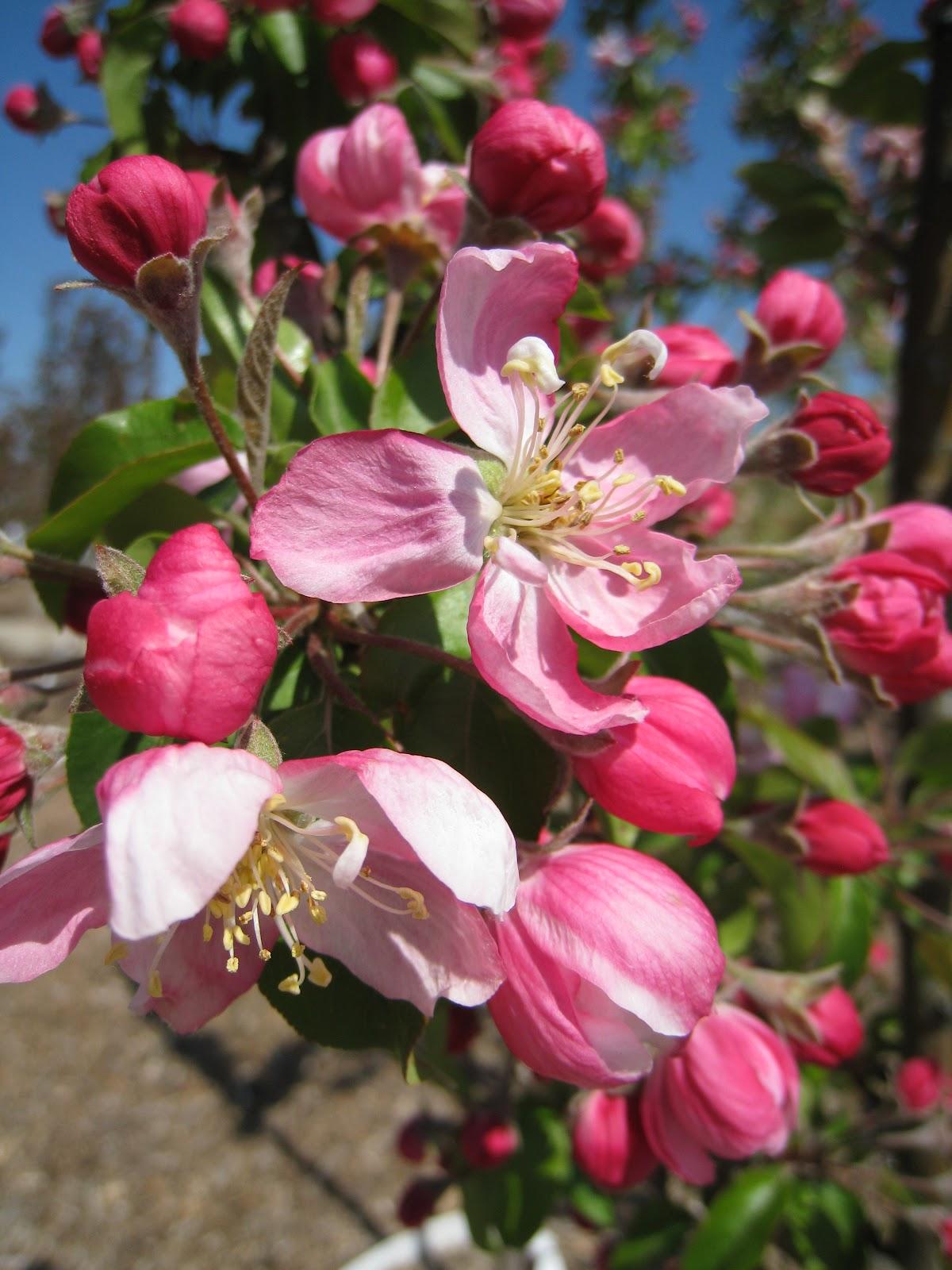 Spring Snow Fruitless Flowering Crabapple