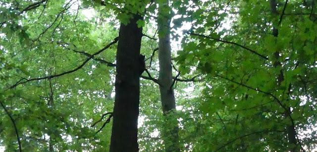 Kurpark Bad Wildungen - Waldbereich mit Waschbär