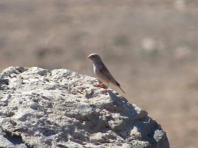 Trumpeter Finch - Embalse de los Molinos, Fuerteventura