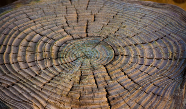A clearer view of past climate from tree rings