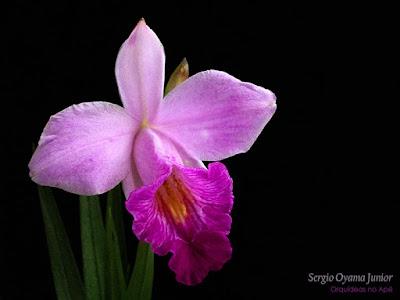 Orquídea bambu - Arundina graminifolia