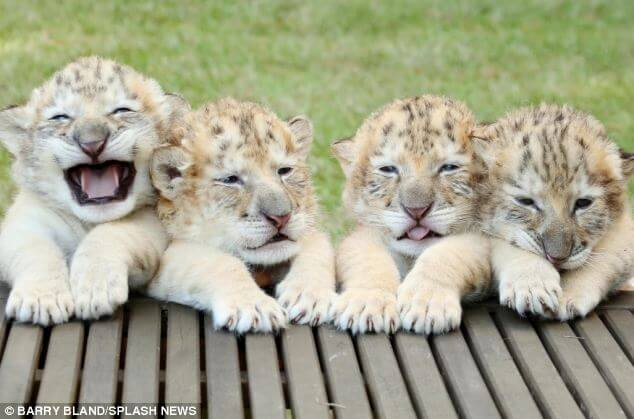 These Beautiful And Extremely Rare White 'Ligers' Are The Babies Of A White Lion And A White Tiger