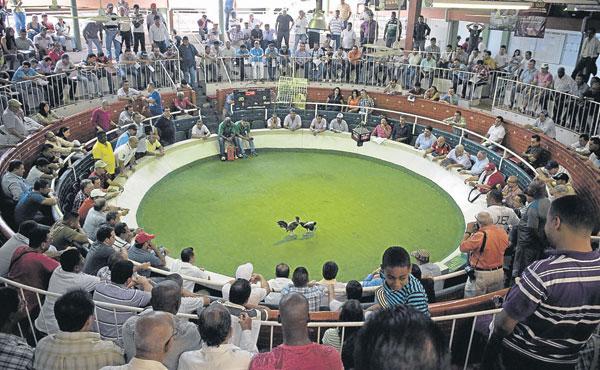 Keunikan Acara Sabung Ayam di Bogota Colombia