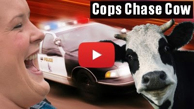 Watch Cheryl Payne laugh Uncontrollably as Cops in Kewanee chase Cow in the streets via geniushowto.blogspot.com funny chase videos
