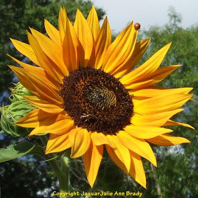 A ladybug on a sunflower petal along with a bee