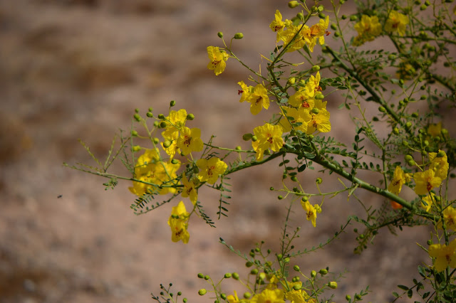 parkinsonia, palo verde, small sunny garden, garden bloggers bloom day, amy myers, desert garden
