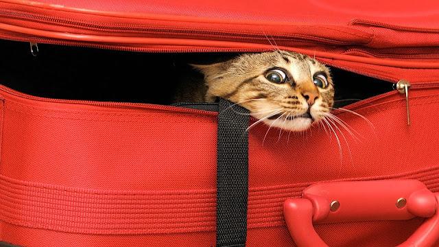 Como levar seu gato para Miami