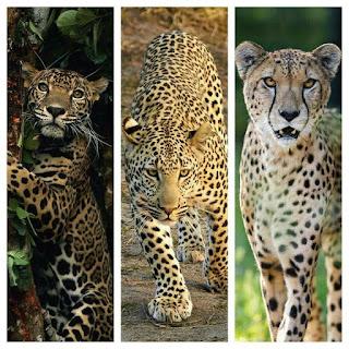 la naturaleza y su belleza: diferencias entre el leopardo, guepardo