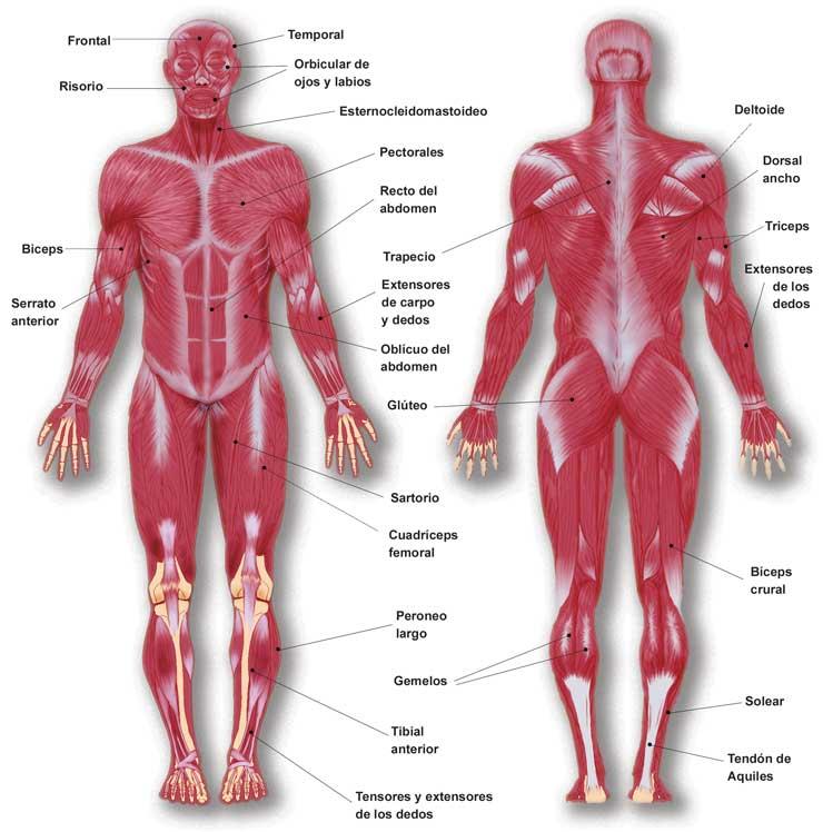 sistema muscular: conociendo nuestro cuerpo( músculos).